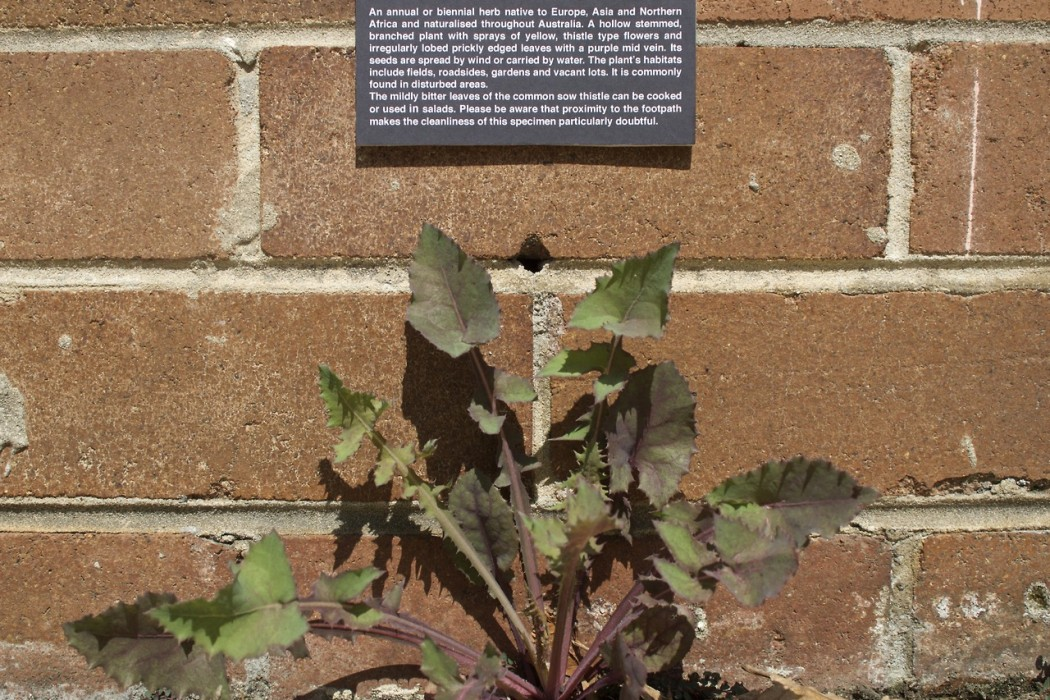 Common Snow Thistle Botanical Plaque - Art by Miguel Marquez Outside