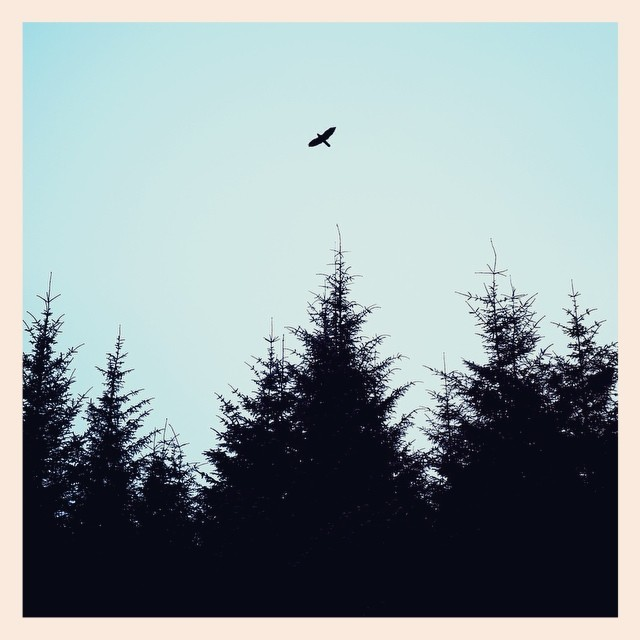 The Scottish pines, the Scottish wee birdie and the Scottish blue sky. - iPhone photo by Tony Hammond