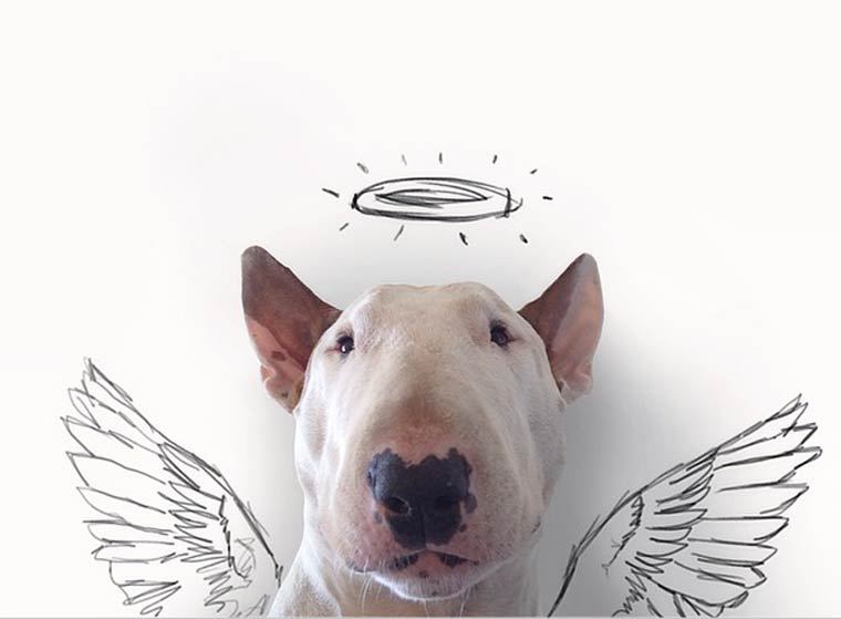 Angel - Bull Terrier - Photo by Rafael Mantesso