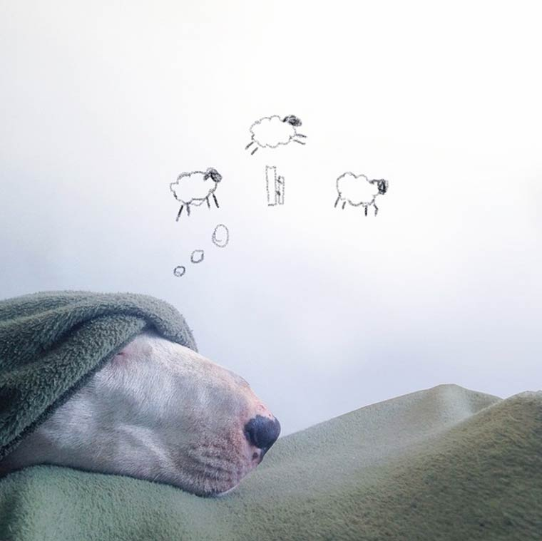 Counting Sheep - Bull Terrier - Photo by Rafael Mantesso